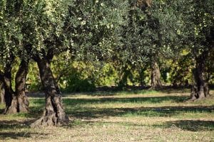 olive trees in an olive grove that are susceptible to Xylella fastidiosa
