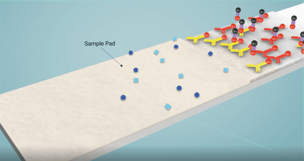 antibodies in a lateral flow sample pad